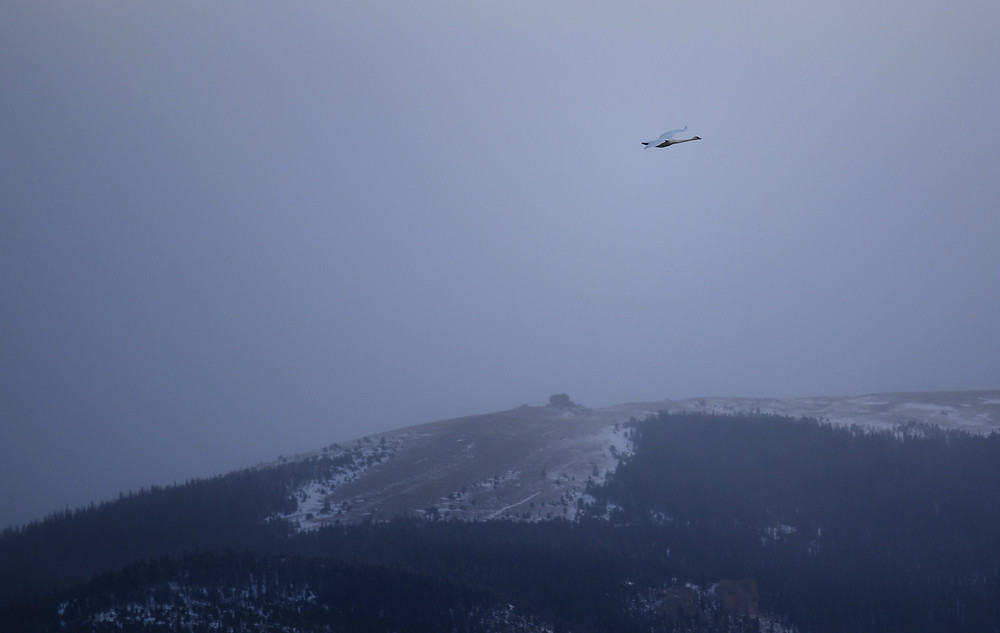 Swan flying over snowy mountains in small remote mountain town of Dubois, Wyoming.