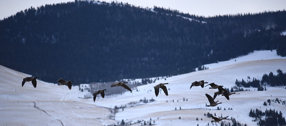 Canada Geese flying over the mountains in small remote mountain town of Dubois, Wyoming.