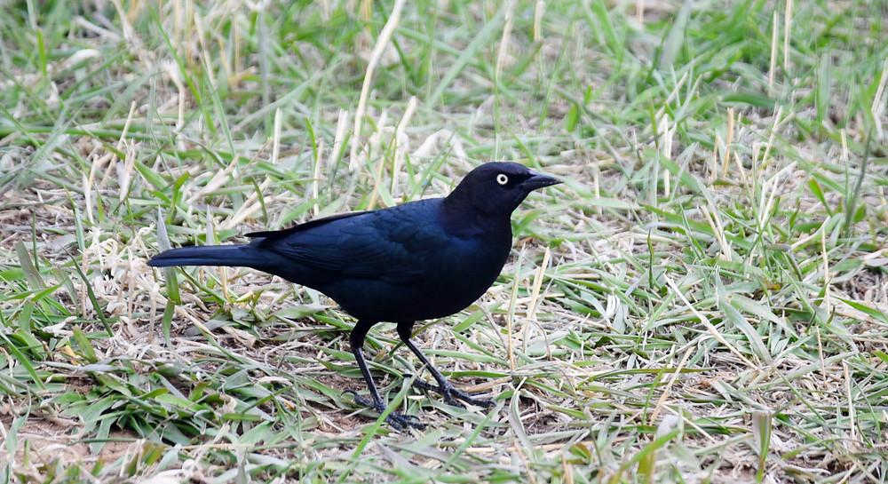Brewer's Blackbird in Dubois, Wyoming