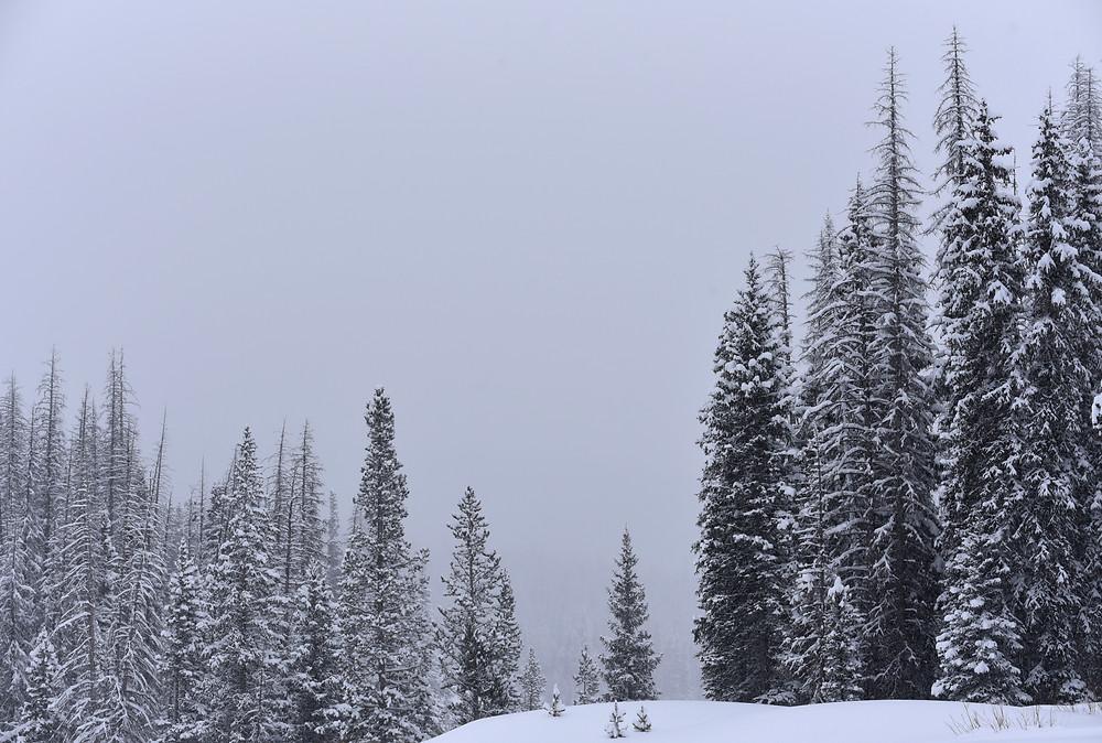 Snowy pine trees near Brooks Lake, Wyoming.