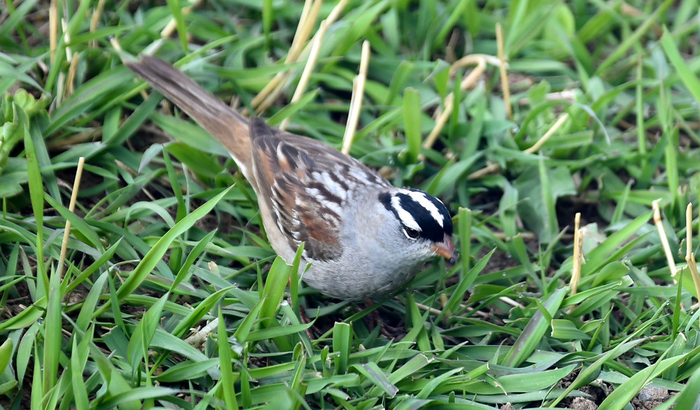 White-Crowned Sparrow in Dubois, Wyoming
