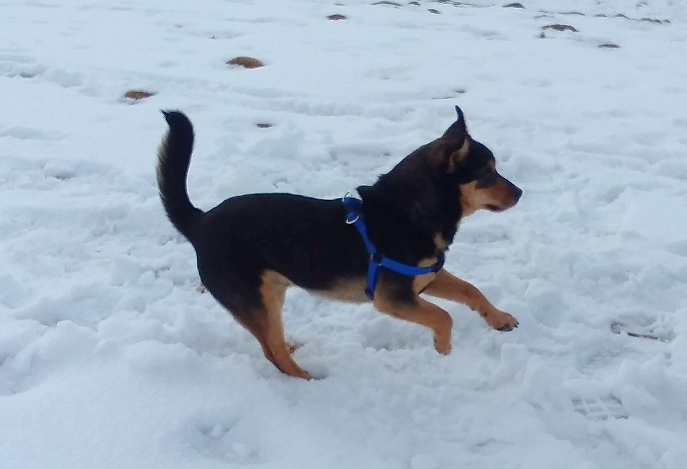 Black and tan puppy running in snow at dog park