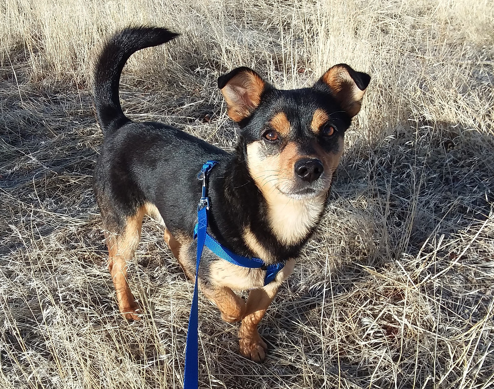 Small black and tan dog in field, mixed breed, rescue dog, adopt a rescue, adopt a shelter dog, happy dog