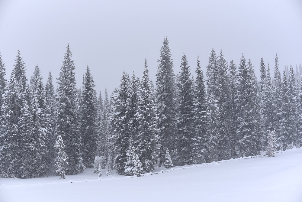 Snowy pine trees near Falls Campground near Brooks Lake in Wyoming