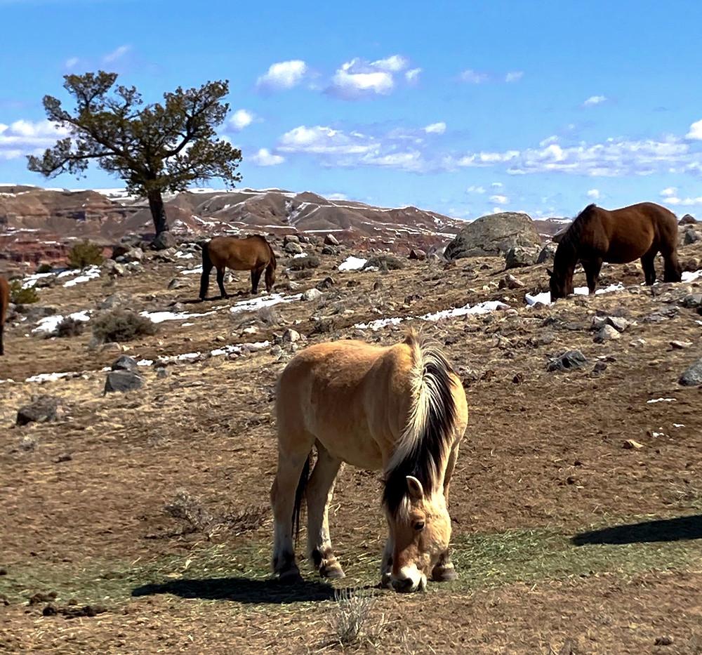 Open range Norwegian Fjord horse near badlands in Dubois, Wyoming