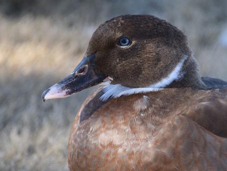Duck, duck, move!