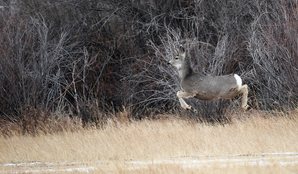 Mule deer jumping and bounding above field in small remote mountain town of Dubois, Wyoming.