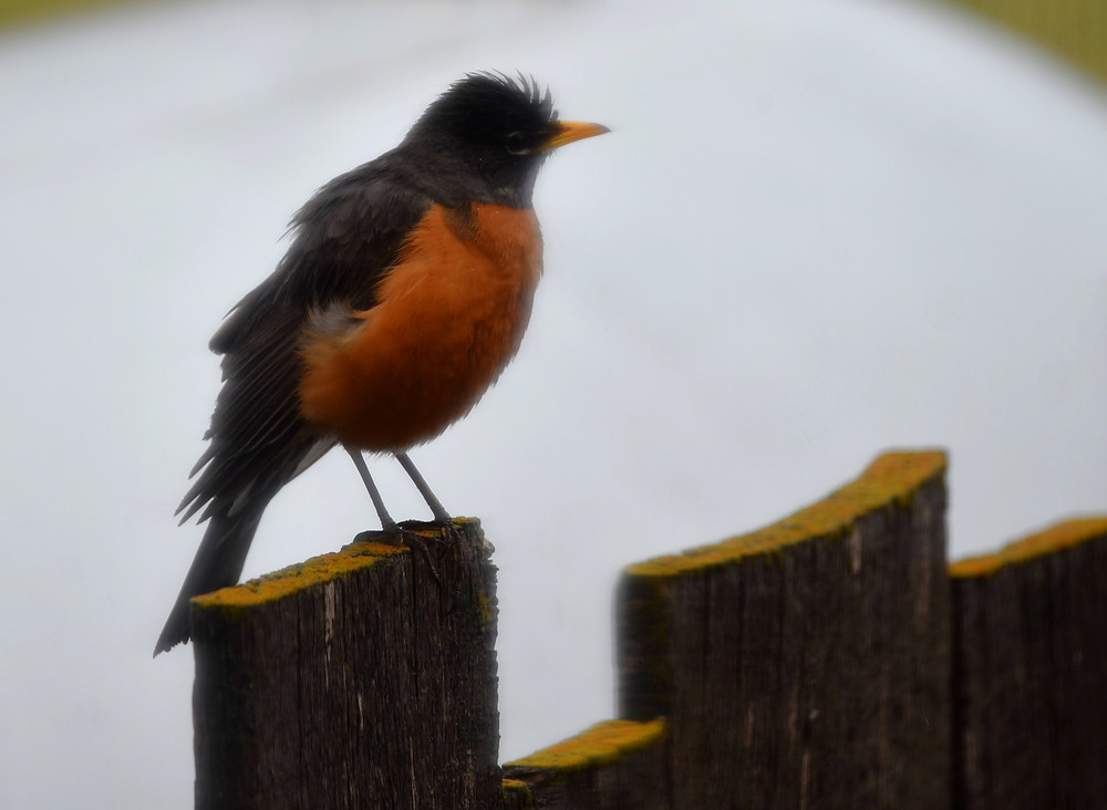 American Robin in Dubois, Wyoming