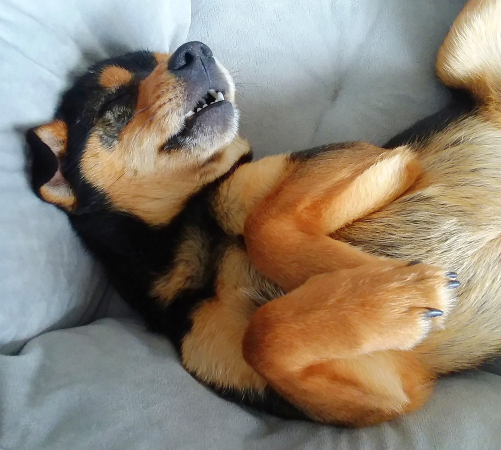Black and tan puppy sleeping on back