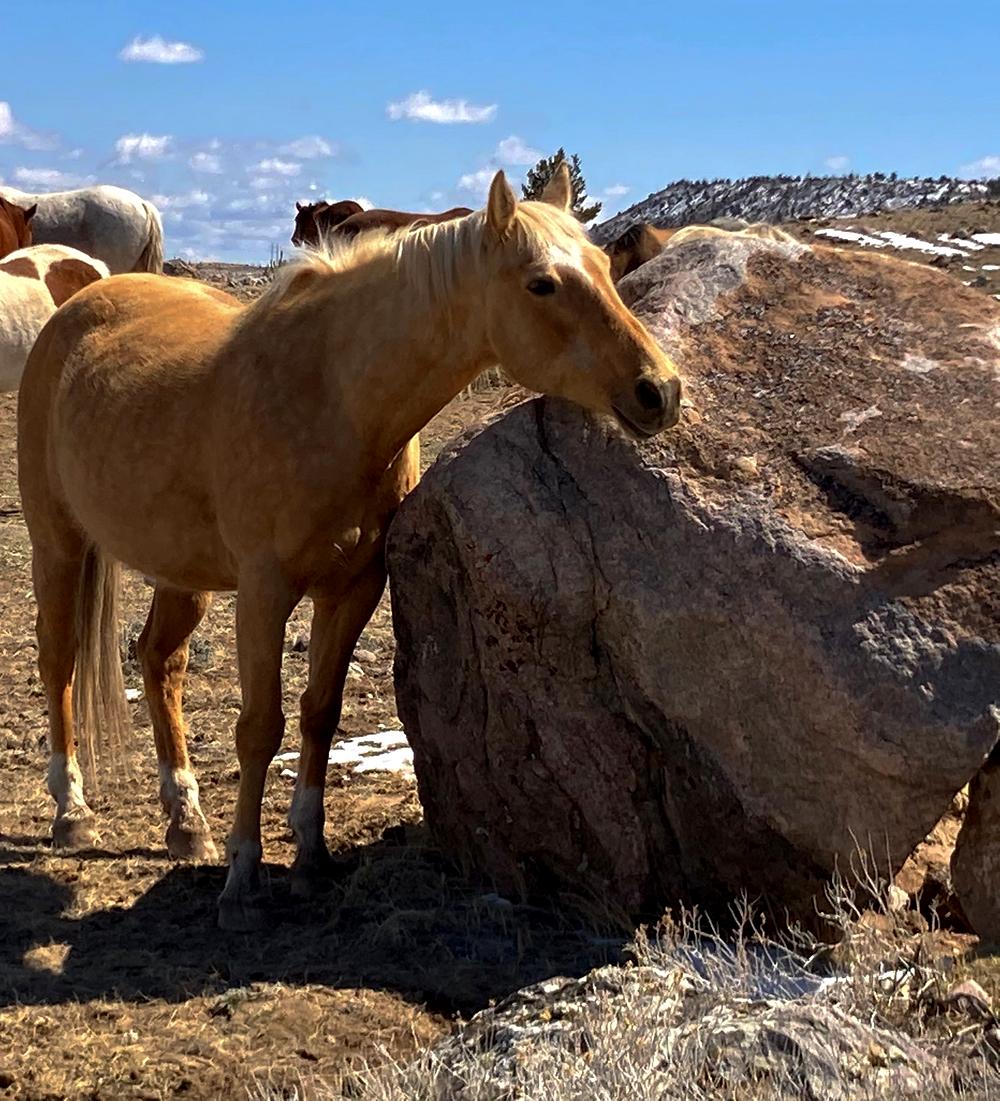 Open range palomino horse near badlands in Dubois, Wyoming