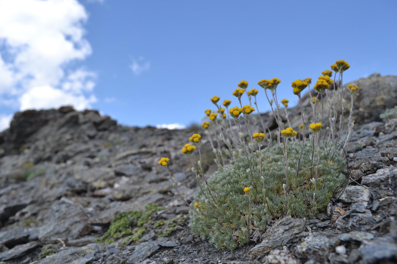 Artemisia_glacialis.JPG