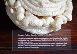 Obicularis Podicus