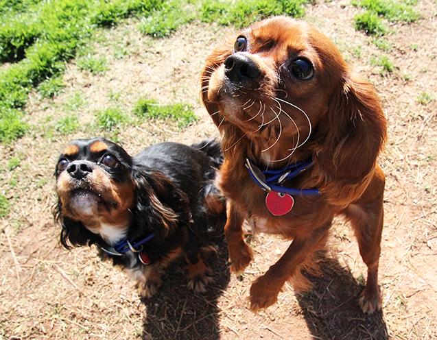 auburn dogs