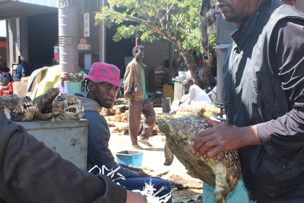 Tortoise being removed from the market. Skulls from poached animals in the background.
