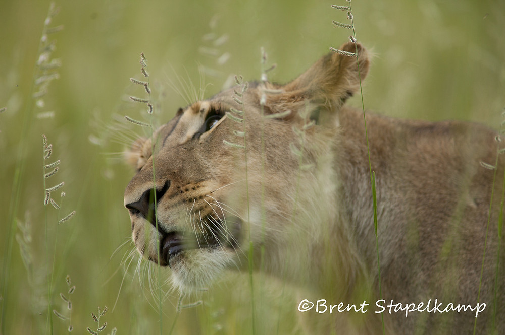 Female lion in the grass