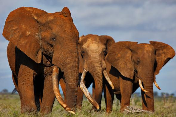 Elephants with rare large tusks in east Africa