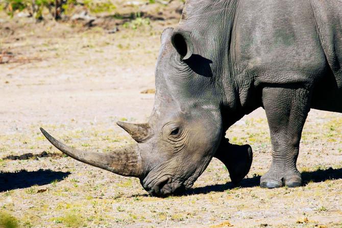 The Rhino Wars