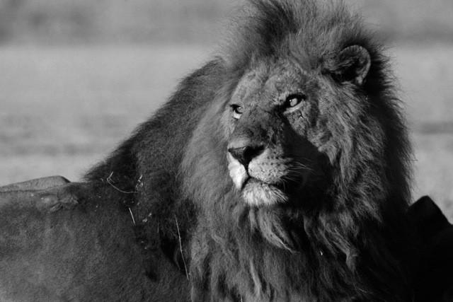 The Last Wild Lions