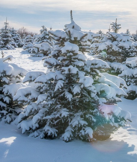 6 ft and Under U-Pick Spruce Trees