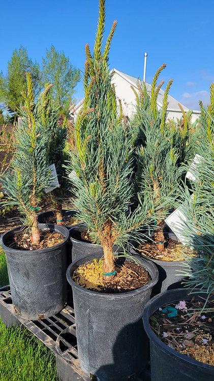 Columnar Scotch Pine