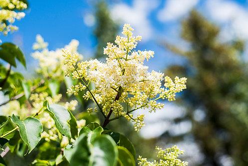 Tree Lilac 6-10 ft ($96-$160)