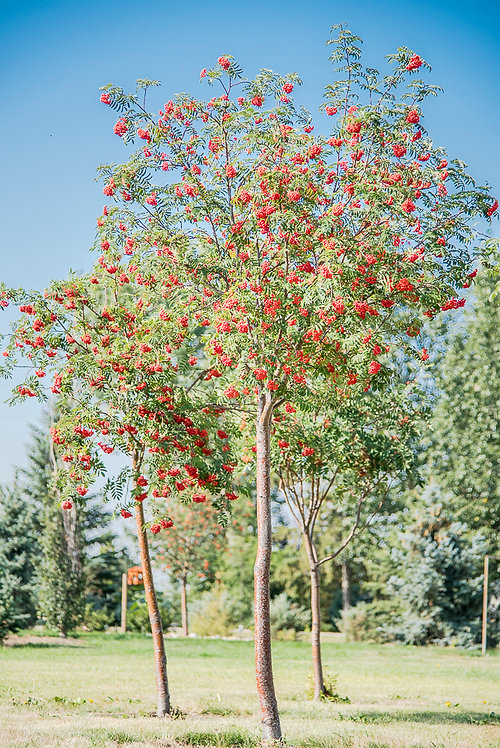 Mountain Ash 6-10 ft ($96-$160)