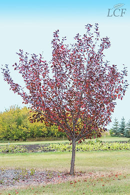 Thunderchild Crabapple Fall Colours-1-72