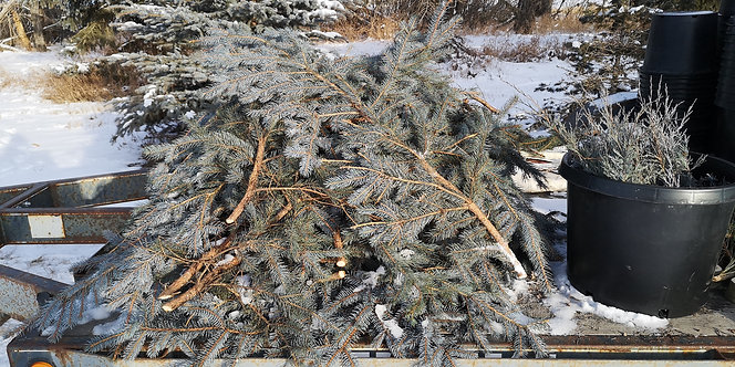 Spruce Boughs Bundle (10 boughs)