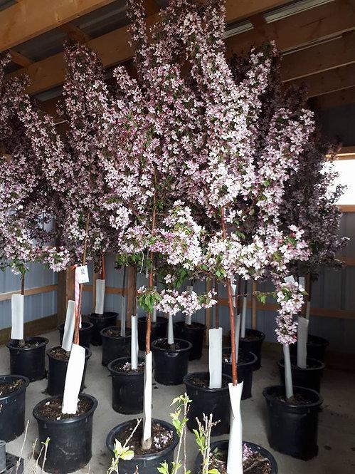 Pink Spire Flowering Crabapple 6-10 ft ($96-$160)
