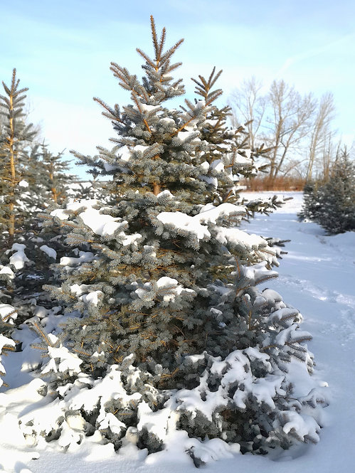 10 ft and Over U-Pick Spruce Tree
