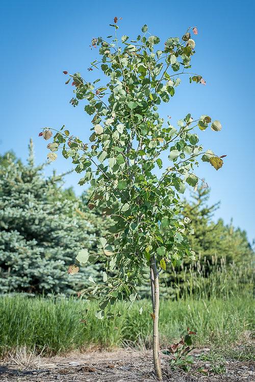 Poplar (Okanese Variety) 10 ft