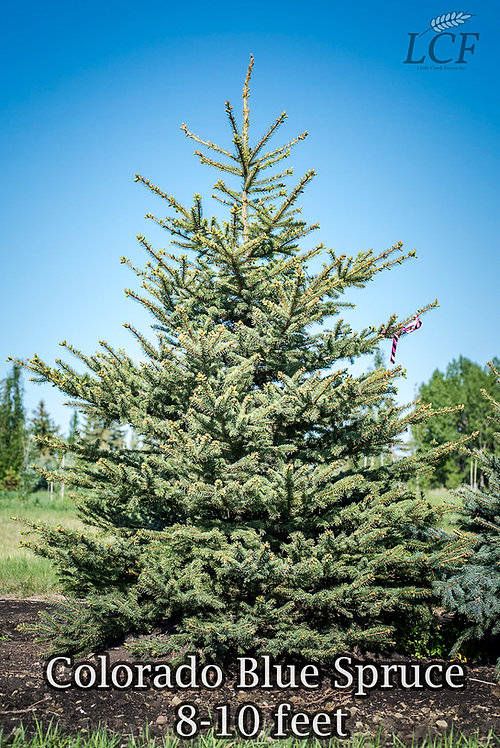 Colorado Blue Spruce 8-9 ft ($160-$180)
