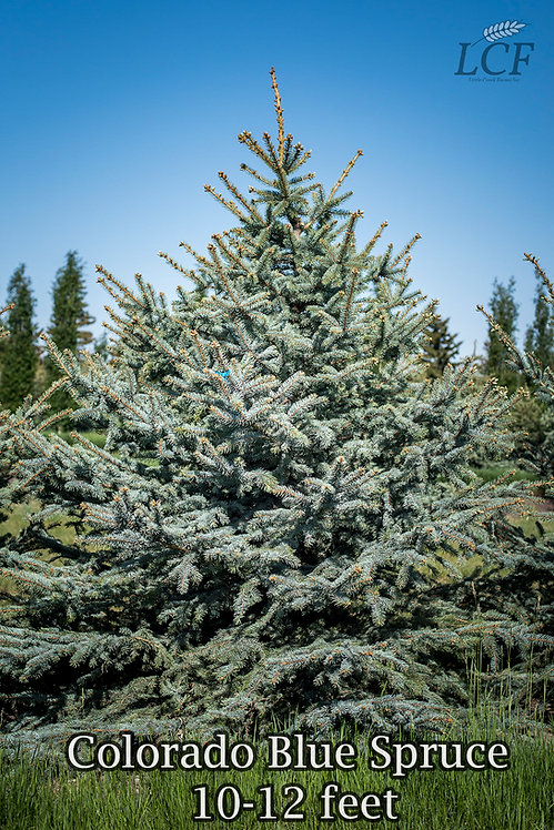 Colorado Blue Spruce 10-12 ft ($200-$240)