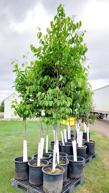 Signature Japanese Tree Lilac Potted