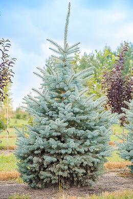 Globe Spruce-2-72dpi.jpg