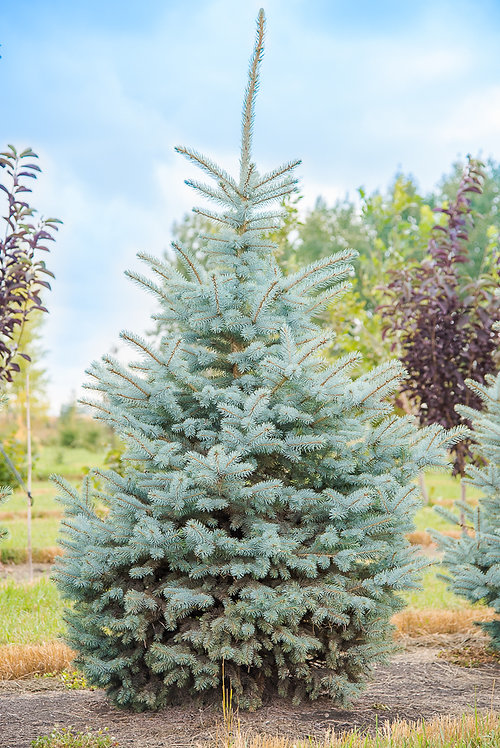 Baby Blue Spruce 5-7 ft ($100-$140)