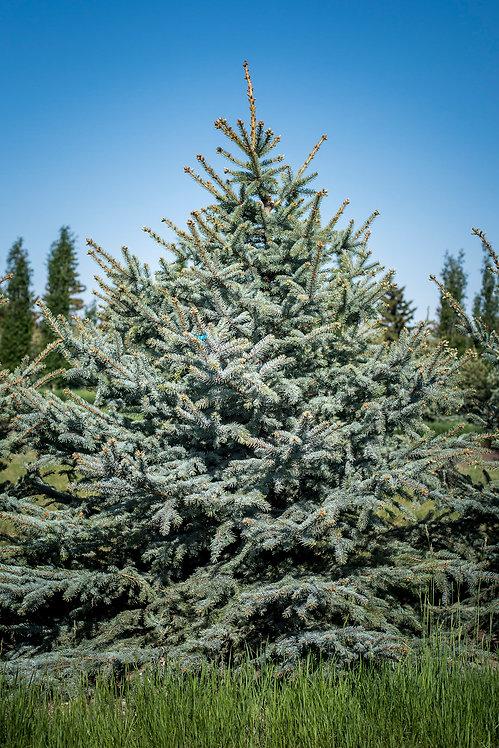 Colorado Blue Spruce 12-13 ft ($240-$260)