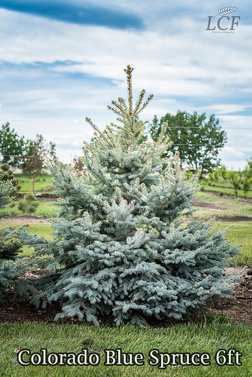 Colorado Blue Spruce 6-8 ft ($120-$160)