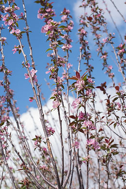 Gladiator Crabapple Flowers-1.jpg