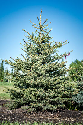 Colorado Blue Spruce - 8-10ft -1.jpg
