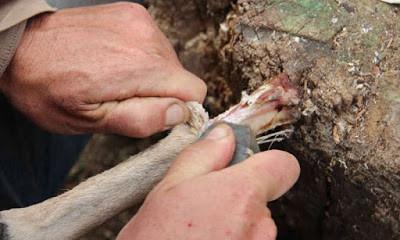"""On mangeait de la moelle osseuse """"en conserve"""" il y a 400.000 ans"""