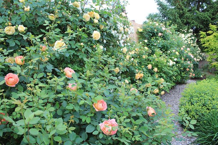 Gartengestaltung Engl. Rosenhecke.JPG