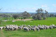 Sheep being sheep