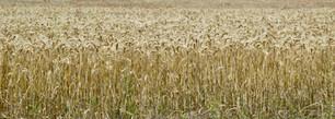 Wheat to the horizon