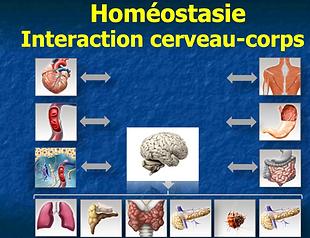 Homéostasie-corps-cerveau.png
