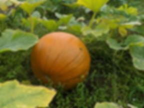 orange ripe pumpkin in pumpkin patch
