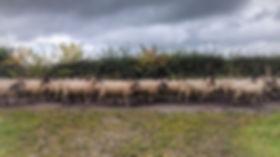 Sheep running along a road