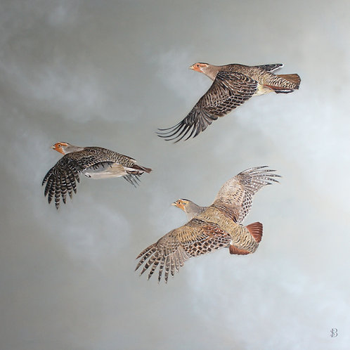 Three Flying Grey Partridge