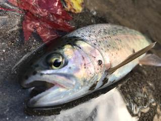 北海道富良野渓流 エサ釣り