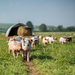 pigs-640-x-640.jpg